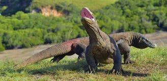 Komodoensis Varanus дракона Komodo подняло голову и раскрыло рот Это самая большая живущая ящерица в мире Остров Стоковое Изображение