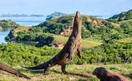 Komodoensis Varanus дракона Komodo стоит на своих задних ногах Стоковые Изображения RF