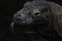 Komodoensisen för Varanus för den Komodo draken med den delade tungan sniffar luft Störst i världsuppehälleödlan i naturligt arkivfoto