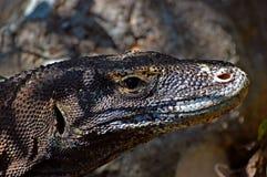 Komodowaran auf komodo Inseln stockfoto