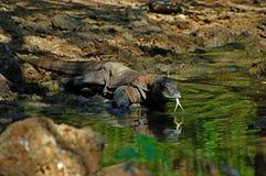 Komodowaran auf komodo Inseln stockfotos