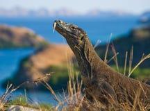 Komodowaran, das aus den Grund gegen den Hintergrund der erstaunlichen Landschaft sitzt Interessante Perspektive Das Tiefpunktsch Stockbild