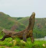 Komodowaran, das aus den Grund gegen den Hintergrund der erstaunlichen Landschaft sitzt Interessante Perspektive Das Tiefpunktsch Stockfoto
