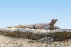 Komodowaran im Wüstenambiente Lizenzfreie Stockfotografie