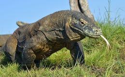 Komodowaran Varanus komodoensis mit dem gegabelten Zungensn Stockfotos
