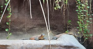 Komodowaran am Zoo Prag Lizenzfreie Stockbilder