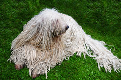 Komondor Stock Foto's