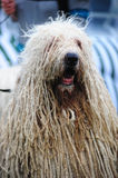 Komondor Photos stock