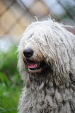 Komondor Stock Images