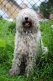 Komondor Stock Photos
