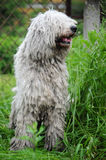 Komondor Images stock