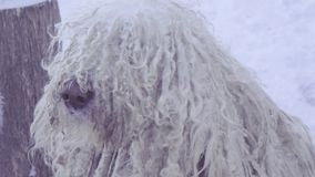 Komondor Hungarian sheepdog stock footage