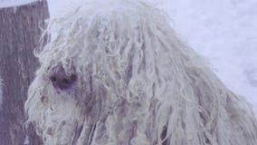 Komondor Hungarian sheepdog stock footage