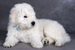 Komondor Puppy Royalty Free Stock Photos