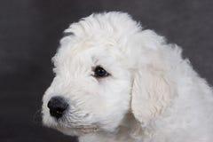 Komondor puppy Stock Photos