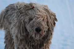 Komondor stor hundframsida - - framsida royaltyfria foton