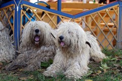 Komondor Royalty Free Stock Image