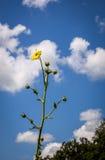 Kompasspflanzeblumen Stockbild