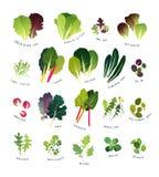 Komplette Liste der allgemeinen belaubten Grüns lizenzfreie abbildung