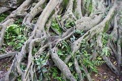 Kompliziertes Wurzelsystem eines Baums Stockbild