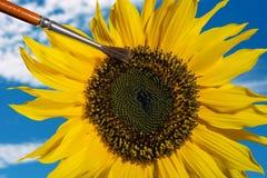 Komponera av en hand som pollinerar en solros med en borste Arkivfoton