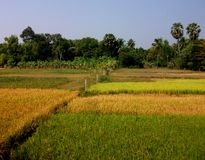 Kompong Cham Subsistence Agriculture. Rice paddies near Wat Maha Leap in Cambodia's Kompong Cham province Royalty Free Stock Photos