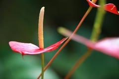 Komposition κινηματογραφήσεων σε πρώτο πλάνο των λουλουδιών Anthuriums Στοκ εικόνα με δικαίωμα ελεύθερης χρήσης