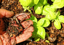 kompostowa dżdżownica Fotografia Stock