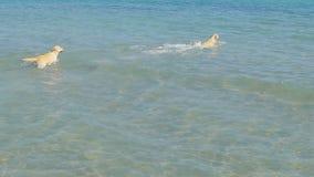 Komt de honden een zeewater op een strand tegen De labrador gaat volgt weinig bal Het hebben van pret op de zomerweekend langzaam stock video
