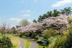 Komt de volledig gebloeide kers in Showa Kinen KoenShowa Memorial Park, Tachikawa, Tokyo, Japan in de lente tot bloei Royalty-vrije Stock Foto