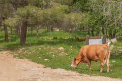 Kon äter gräs i skogen Royaltyfri Bild