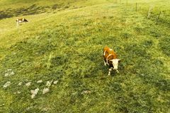Kon äter grässlätten arkivbild