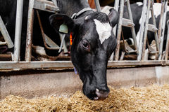 Kon äter hö Fotografering för Bildbyråer