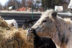 Kon äter hö Boskaplantbruk på en familjlantgård Detalj av huvudet av kon bruka som är organiskt royaltyfri bild
