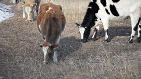 Kon äter vinter 3 arkivfilmer