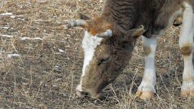 Kon äter vinter 5 arkivfilmer