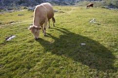 Kon betar in arkivfoto