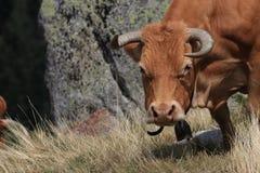 Kon i en Pyrenean betar, Royaltyfria Bilder