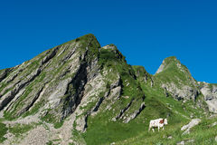 Kon i ett högt berg betar Arkivbild