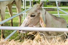 Kon köptes från slakthuset som väntar för att vara, levererar royaltyfria foton
