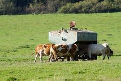 Kon kommer att dricka vatten Royaltyfri Foto