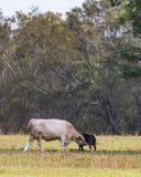 Kon och kalven i sen sommar betar - lodlinje arkivbild