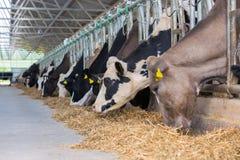 Kon sniffar havreensilage, medan andra äter arkivbilder