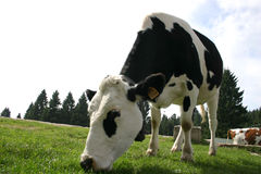kon som äter gräs, betar arkivfoto