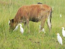 Kon sorrounded vid nötkreaturägretthäger/kofåglar arkivbilder
