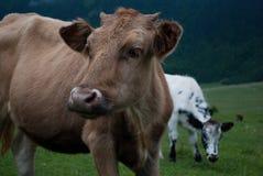 Kon tystar ned tätt upp fotografering för bildbyråer