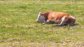 Kon vilar på en vår eller ett grönt gräs för sommaräng royaltyfri bild
