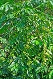 Kona未成熟的咖啡豆 库存照片