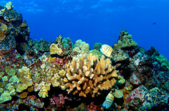 kona礁石 免版税图库摄影