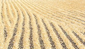 Kona, Hawaii Big Island.  Coffee beans raked into rows to dry inthe sun Stock Photo